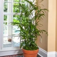 Hasil gambar untuk Bamboo Palm