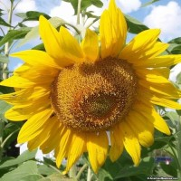 Bibit Bunga Matahari Mammoth Grey Stripe bunga matahari
