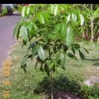 Bibit Pohon Mahoni