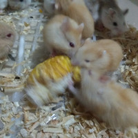 hamster golden red eye winter white hybrid