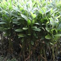 Tanaman Acacia Mangium / Pohon Akasia