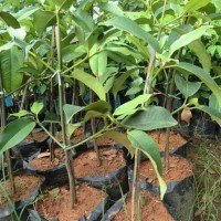 Bibit buah manggis wanayasa super