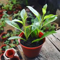 Bibit Tanaman Sambung Nyawa_Gynura procumbens_Longevity Spinach