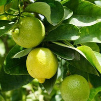 Bibit Buah Jeruk Lemon tea