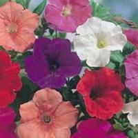 Benih Biji Bibit Bunga Petunia Confetti Mixed F2 Import UK/Ingggris