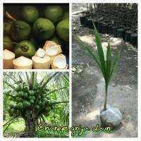 Bibit kelapa pandan wangi