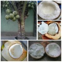 paket 3 batang bibit kelapa kopyor