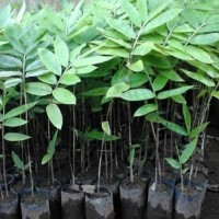 Ready 50 Bibit Pohon Bambu Petung / Betung Kuljar Stok Banyak