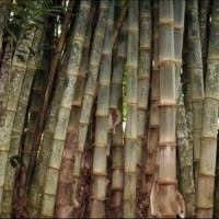 Ready 20 Bibit Pohon Bambu Petung / Betung KulJar Stok Banyak