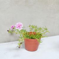 Bibit Tanaman Bunga Portulaca/ Moss Rose/ Krokot Double Petal Pink