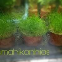 Tanaman Aquascape Dwarf Hairgrass
