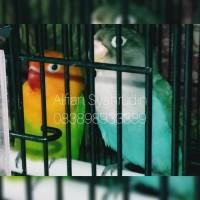 Burung Lovebird Sepasang Biru Cobalt x Pastel Hijau