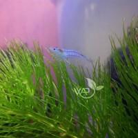 Blue Pearl Shrimp/Udang Hias Blue Pearl