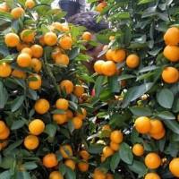 jual pohon jeruk imlek sincia xinxia hiasan orange palsu