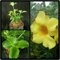 bibit tanaman bunga alamanda kuning