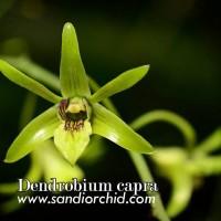 Dendrobium capra / Anggrek Larat Hijau