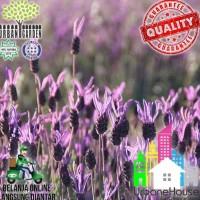 Herbs - Benih Lavender Stoechas French Import Bibit Bunga Lavender