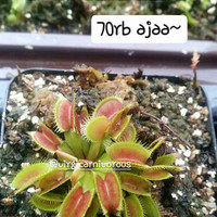 venus flytrap red purple,no.id,typical,b52