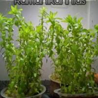 Tonina Fluviatilis tanaman aquascape