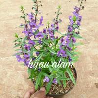 tanaman angelonia / lavender
