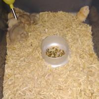 Hamster Winter White Golden Red/Black eye