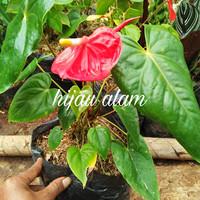 tanaman mikimos/ keladi bunga / anthurium bunga