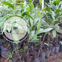 Bibit Pohon kayu akasia mangium / Acacia mangium 70cm