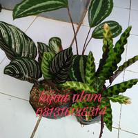 paket tanaman calathea / calatea