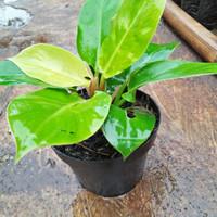 tanaman philo lemon / tanaman hias philo lemon