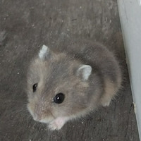 hamster winter white sapphire / blue argente /tiger