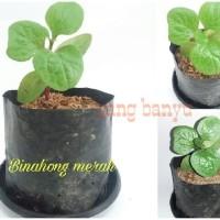 Bibit tanaman binahong merah herbal toga