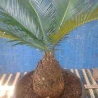 cactus sukulen bonsai kaktus) Jual Tanaman Sikas Mini Murah Pakis Haji