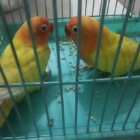 burung lovebird. Lutino mata merah. umur 3 blan 5 hari .