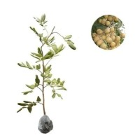 bibit tanaman buah lengkeng pimpong berkualitas