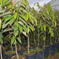 Tanaman Paket 30 Bibit Durian 10 Montong, 10 Bawor dan 10 Musangking