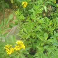 tanaman hujan emas
