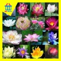 Lotus seed (benih bunga teratai bibit biji tanaman kebun taman hias)