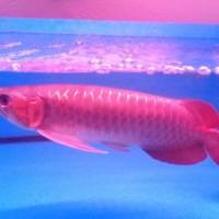 Harga Ikan Arwana Travelbon.com