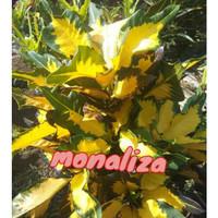 tanaman bunga puring monalisa
