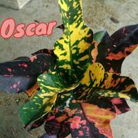 tanaman bunga puring oscar