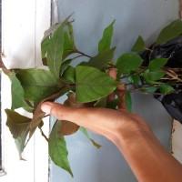 Harga handeuleum pohon daun ungu
