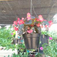 tanaman begonia / tanaman gantung siap pakai