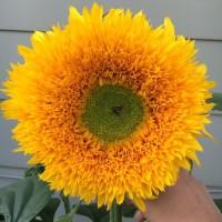 Biji Benih Bunga Matahari Sunflower Sungold