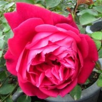 Biji Benih Bibit Mawar Jumbo Giant Rose