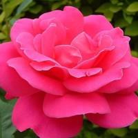 Biji Benih Bibit Mawar Oriental Chinese Rose Rosa chinensis