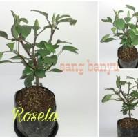 Bibit tanaman rosela rosella herbal toga