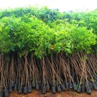 bibit pohon sengon solomon super harga per 200bibit