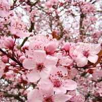 Benih / Bibit / Biji Bunga Sakura (Japanese Cherry Blossoms) - IMPORT JAPAN