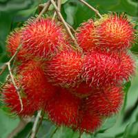 biji benih buah rambutan jombo