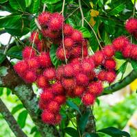 biji benih buah rambutan rapiah